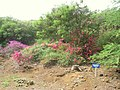 Bougainvillea Collection - Koko Crater Botanical Garden - IMG 2145.JPG