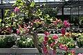 Bougainvillea glabra 12zz.jpg