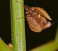 Boxer Mantis (Hestiasula sp.) nymph (23219644442).jpg