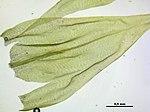 Brachythecium glareosum (c, 145442-481401) 0167.JPG