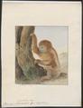 Bradypus tridactylus - 1753-1834 - Print - Iconographia Zoologica - Special Collections University of Amsterdam - UBA01 IZA1000212.tif