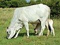 Brahman cow & calf.jpg