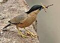 Brahminy Starling (Sturnus pagodarum) W IMG 0481.jpg