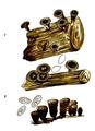 Bresadola - Cyatus vernicosus und Cyatus striatus.png