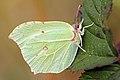 Brimstone Butterfly (8109898250).jpg