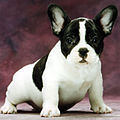 Brindle pied frenchbulldog.jpg