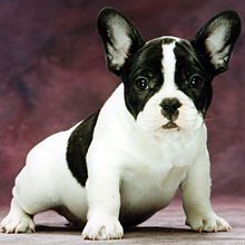 french bulldog wiki french bulldog wikipedia the free encyclopedia 2907