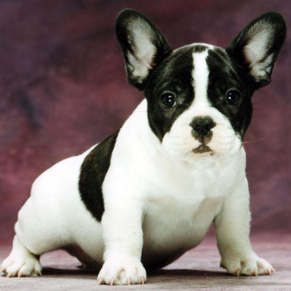 ... Bulldog breed   Breeds of Bulldog: all Bulldog breeds information