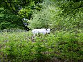 British White Cattle, Stedham Common - geograph.org.uk - 1342069.jpg