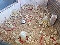 Broiler chicks 005.jpg