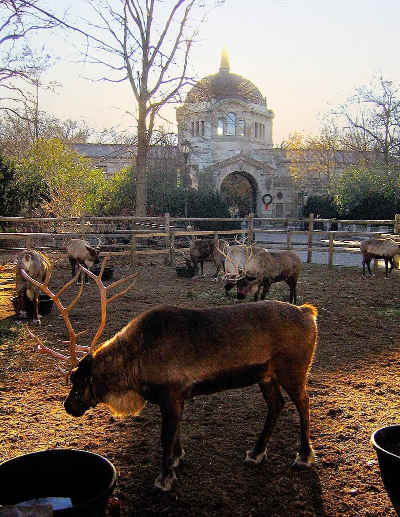 Bronx Zoo reindeer.jpg