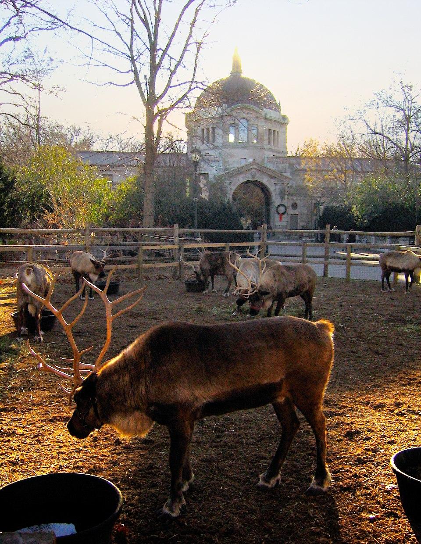 Bronx Zoo reindeer