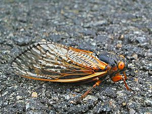 Brood II - A cicada from the 2013 Brood II emergence rests on an elementary school parking lot.