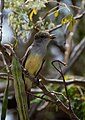 Brown-crested Flycatcher.jpg