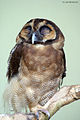 Brown Wood Owl.jpg