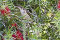Brown backed honeyeater 1 (11722416736).jpg