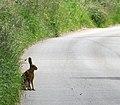 Brown hare (Lepus europaeus) - geograph.org.uk - 846593.jpg