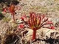 Brunsvigia orientalis - Cape Town.jpg