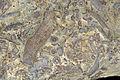 Bryozoa (Borszczow, Podole - Ukraine) 1.jpg
