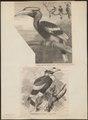 Buceros bicornis - 1700-1880 - Print - Iconographia Zoologica - Special Collections University of Amsterdam - UBA01 IZ19300210.tif
