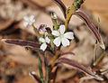 Buchnera linearis flower.jpg