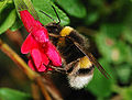 Bumblebee October 2007-1.jpg