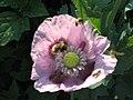 Bumblee in poppy.jpg