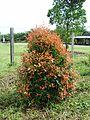 Bunga pucuk merah (25).JPG