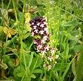 Burnt-tip Orchid Neotinea ustulata (44191015124).jpg