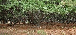Bursera - Image: Bursera citronella (syn B delpichiana) trunks at Hyderabad, AP W IMG 7219