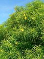 Bush with sharp leaves and yellow flowers.jpg