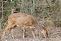 Bushbuck (Tragelaphus scriptus) female (31441527144).jpg