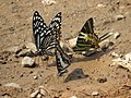 Butterfly mud-puddling at Kottiyoor Wildlife Sanctuary (14).jpg
