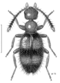 COLE Anthicidae Anthicus sp m.png
