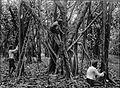 COLLECTIE TROPENMUSEUM Het inkerven en aftappen van rubberbomen TMnr 60004182.jpg