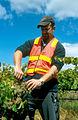 CSIRO ScienceImage 4713 Picking grapes.jpg