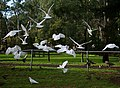 Cacatua tenuirostris -Melbourne -flying around food on ground-8.jpg