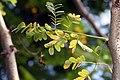 Caesalpinia pulcherrima 22zz.jpg