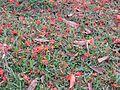Caesalpinia pulcherrima flowers in ground 01.jpg