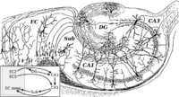 CajalHippocampus (modified).png
