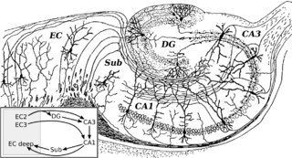 Hippocampal formation A compound structure in the medial temporal lobe of the brain