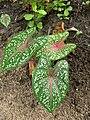Caladium bicolor - Fancy-Leaf Caladium,Artist's pallet,Elephant's ear.jpg