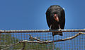 California Condor Waits for his partner (14522909705).jpg