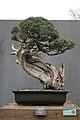 California Juniper (Juniperus californica) (3501616147).jpg