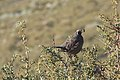 California quail on antelope brush.jpg