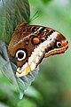 Caligo eurilochus 2.jpg