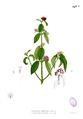 Callicarpa formosana Blanco2.427b.png