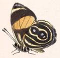 Callicore guatemalena (underside).png