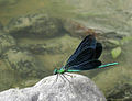 Calopteryx virgo2.jpg