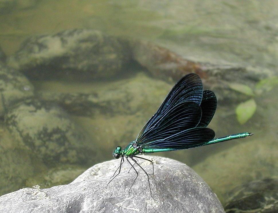 Calopteryx virgo2